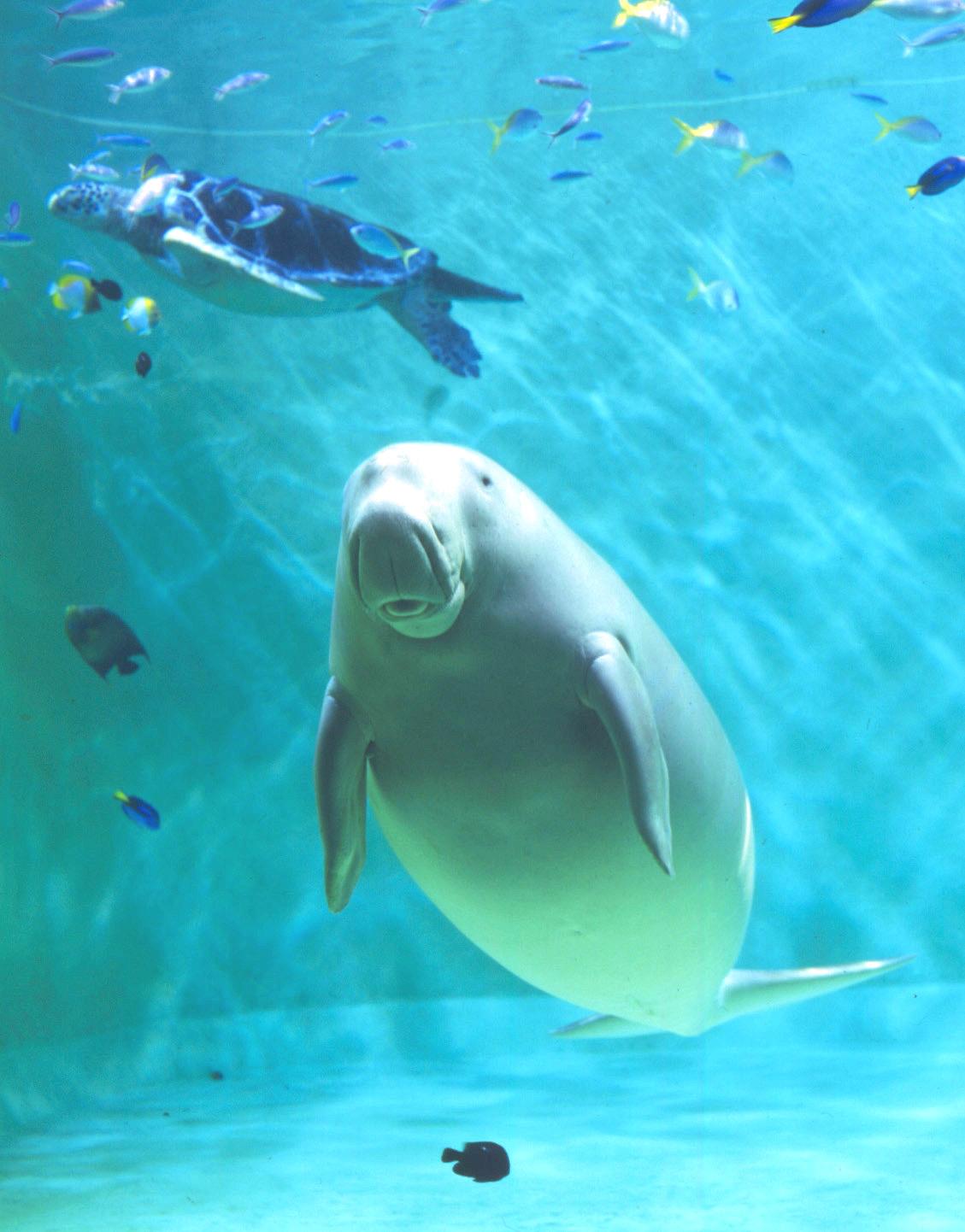 水族館のジュゴン